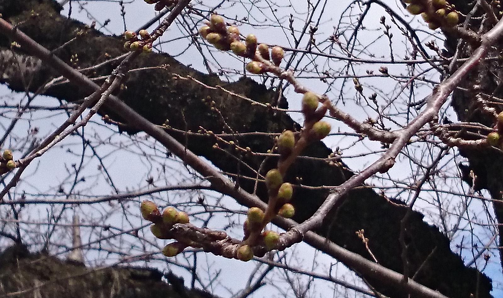 今日の基準木(2015/3/26)