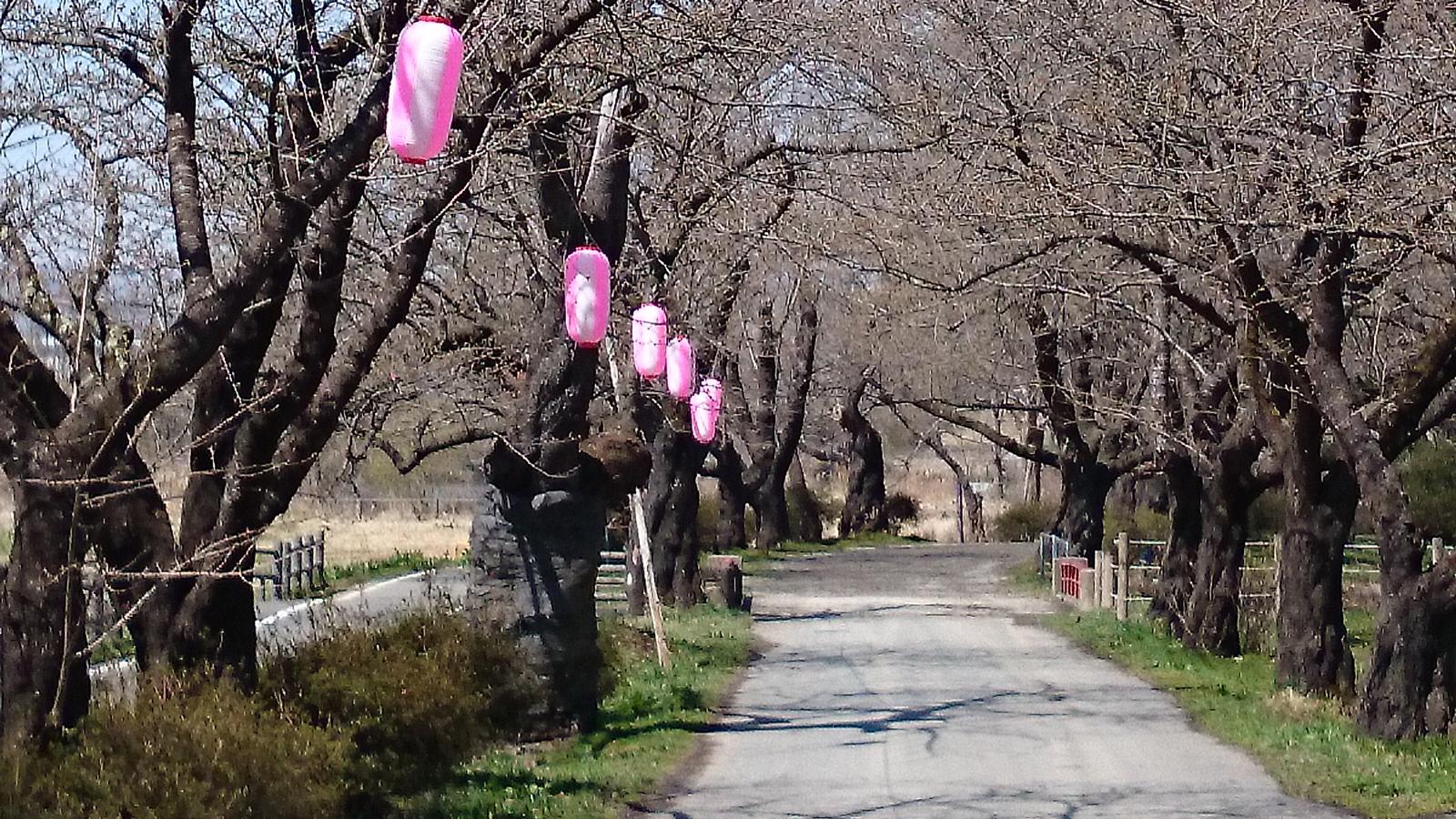 桜並木には提灯も設置されました。
