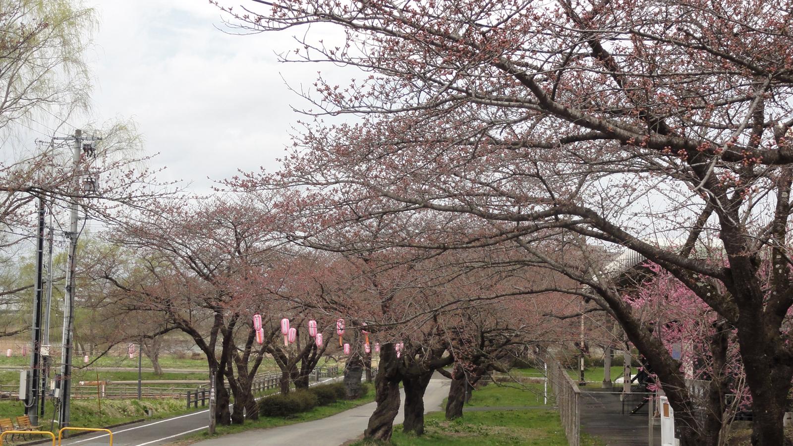 桜並木入口