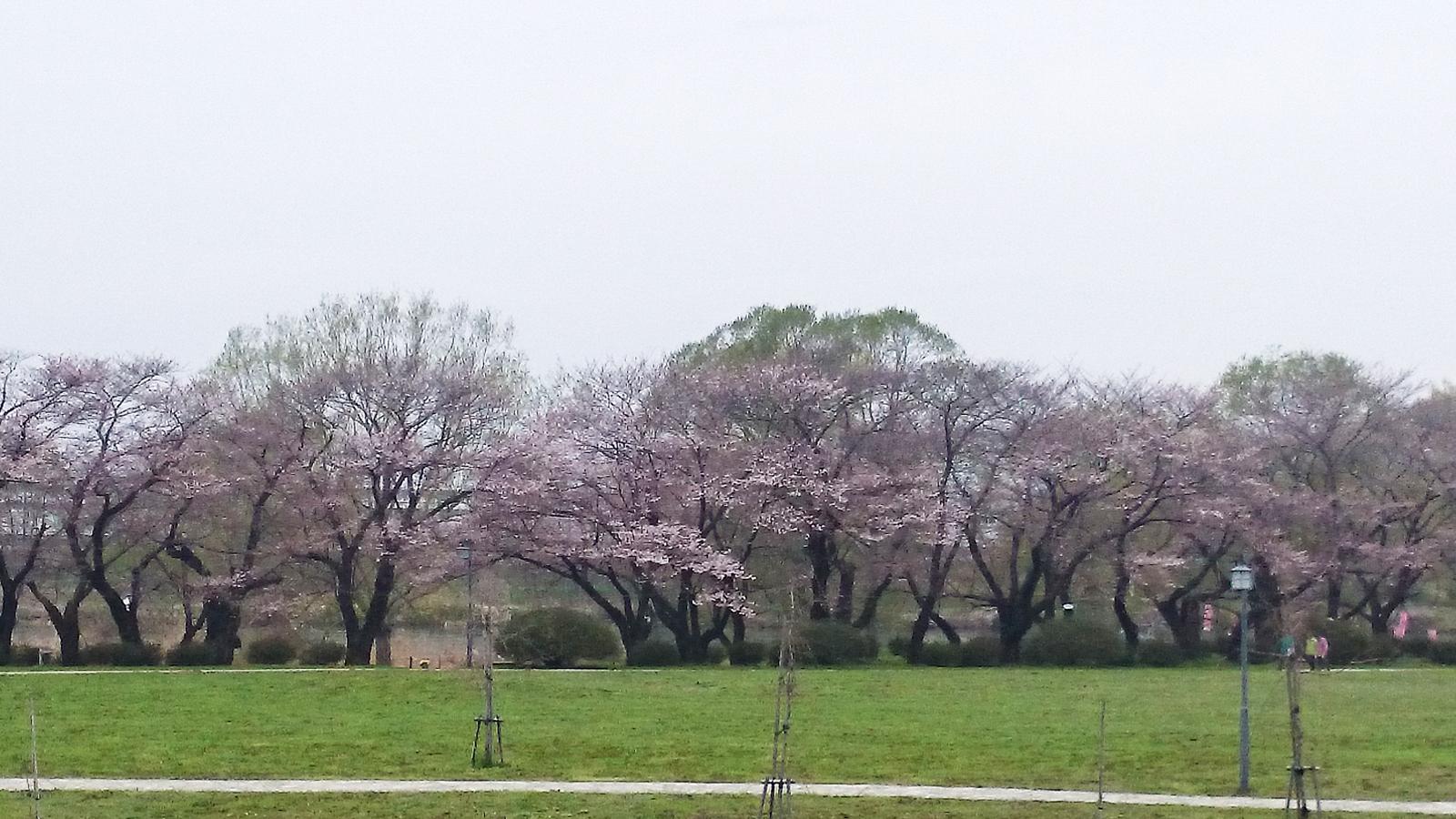 桜並木はまだまだ