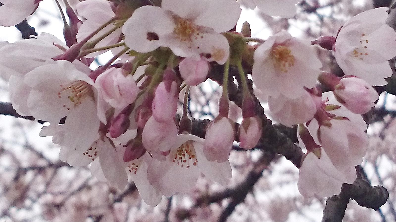 レストハウスわきの桜