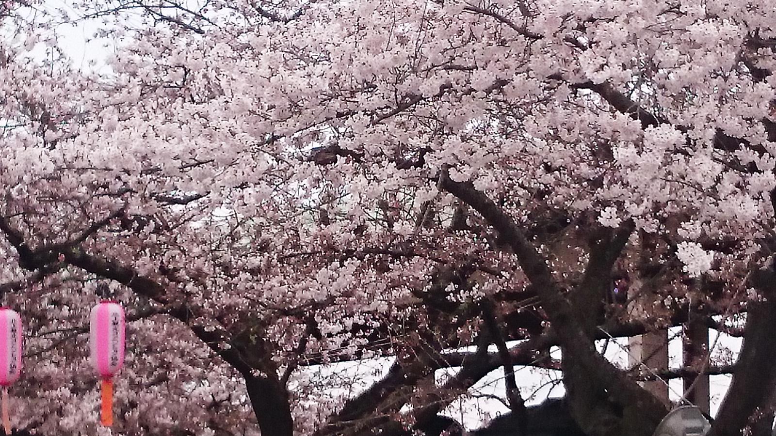 桜並木入口は見ごろです